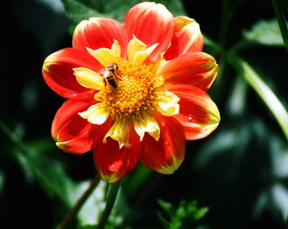 laura rennie - dahlia & bumblebee 2