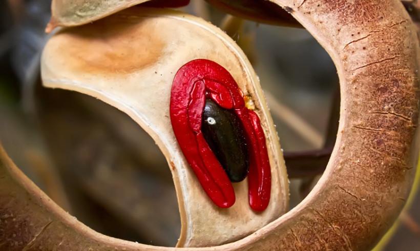 Acacia Seed