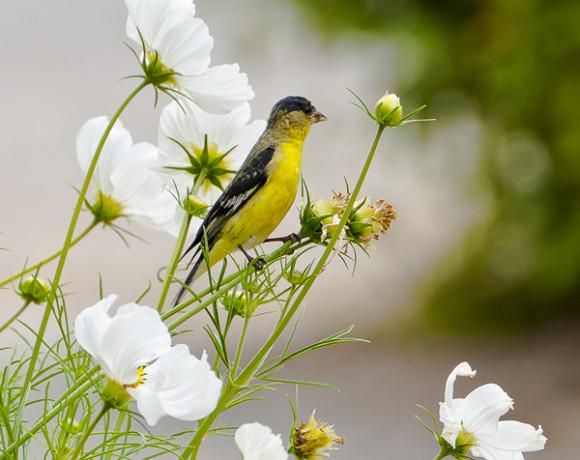 john halibur - gold finch