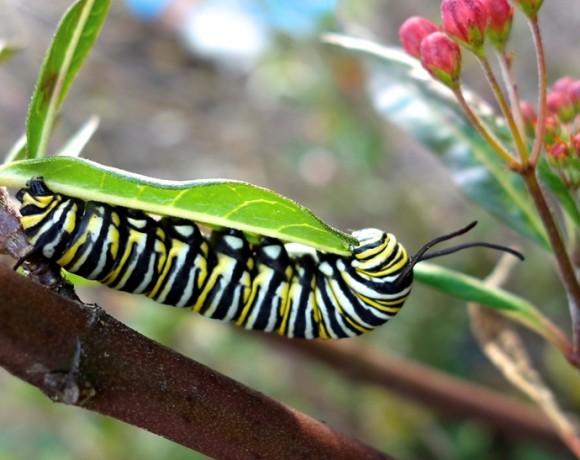 pam major - caterpillar