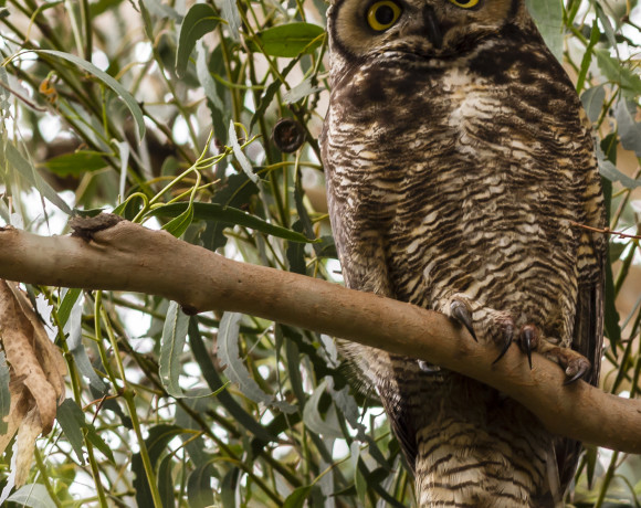 stanton vicky - owl (1 of 1)