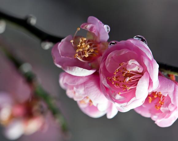 Chinese Bush Cherry