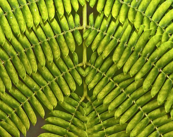 Pinnate Leaf Tree