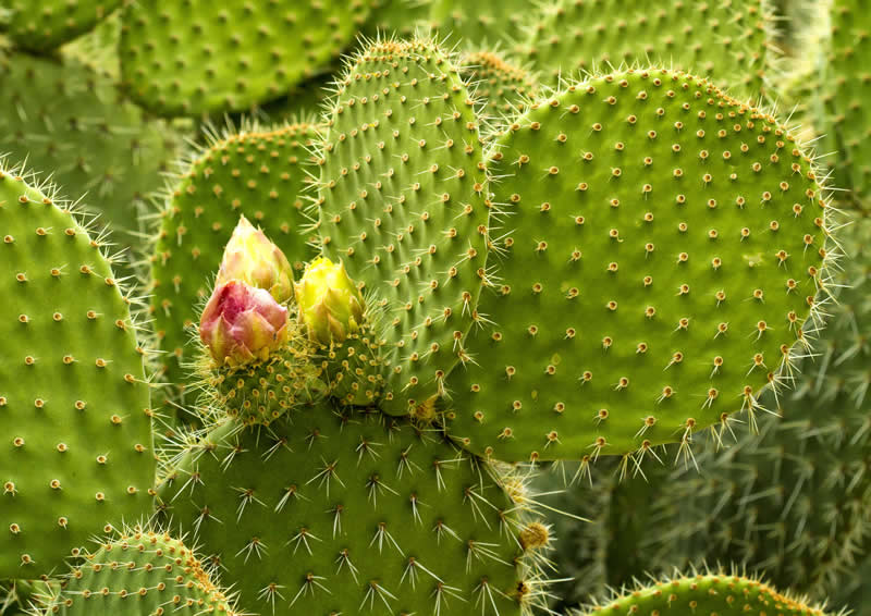 Opuntia – Arborescent Prickly Pear