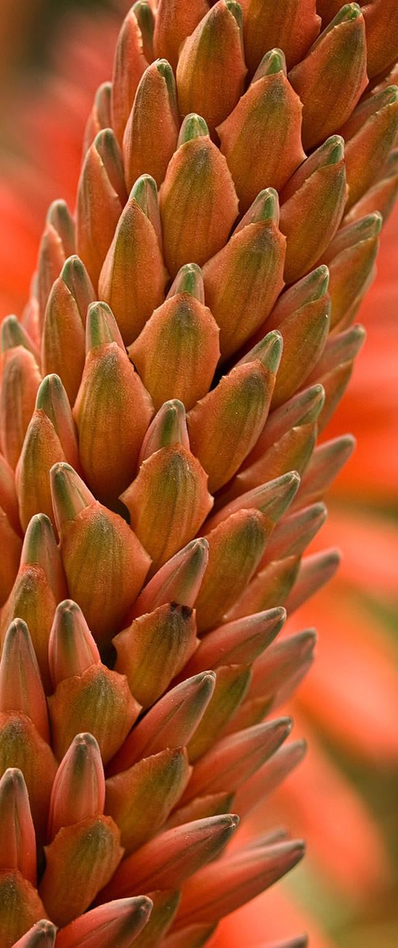 Aloe Aborsecens