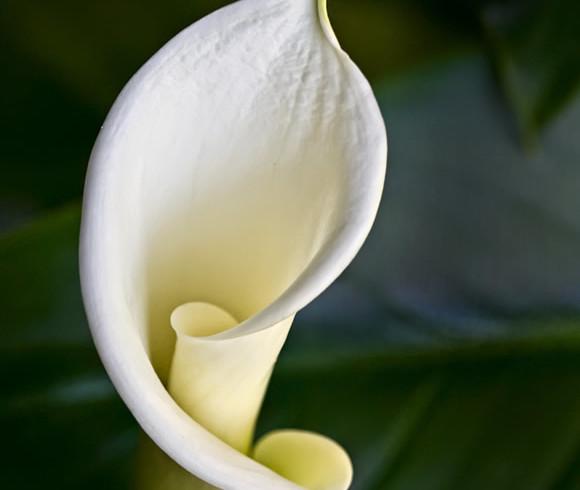 Green Goddess Calla Lily