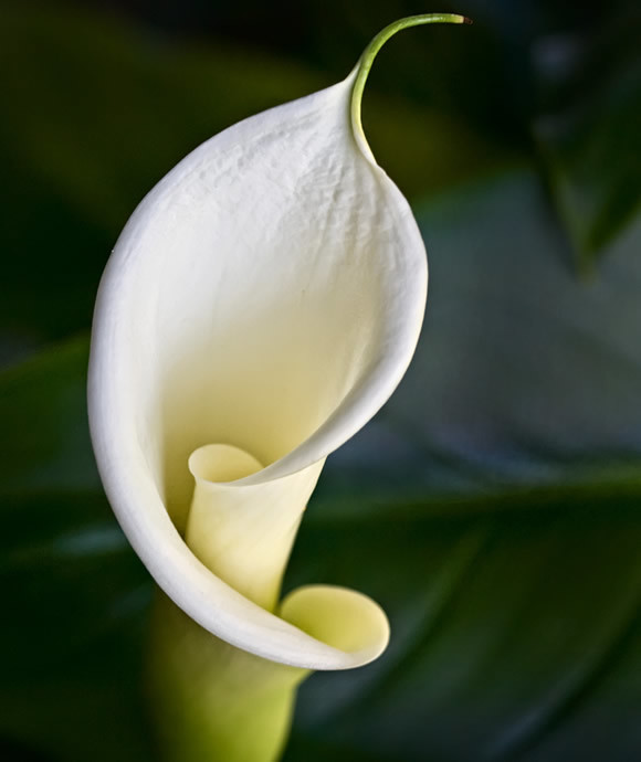 Green Goddess Calla Lily