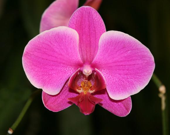Orchid_Phalaenopsis_hybrid