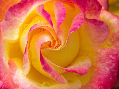 Celeste Mookherjee - Love & Peace Rose