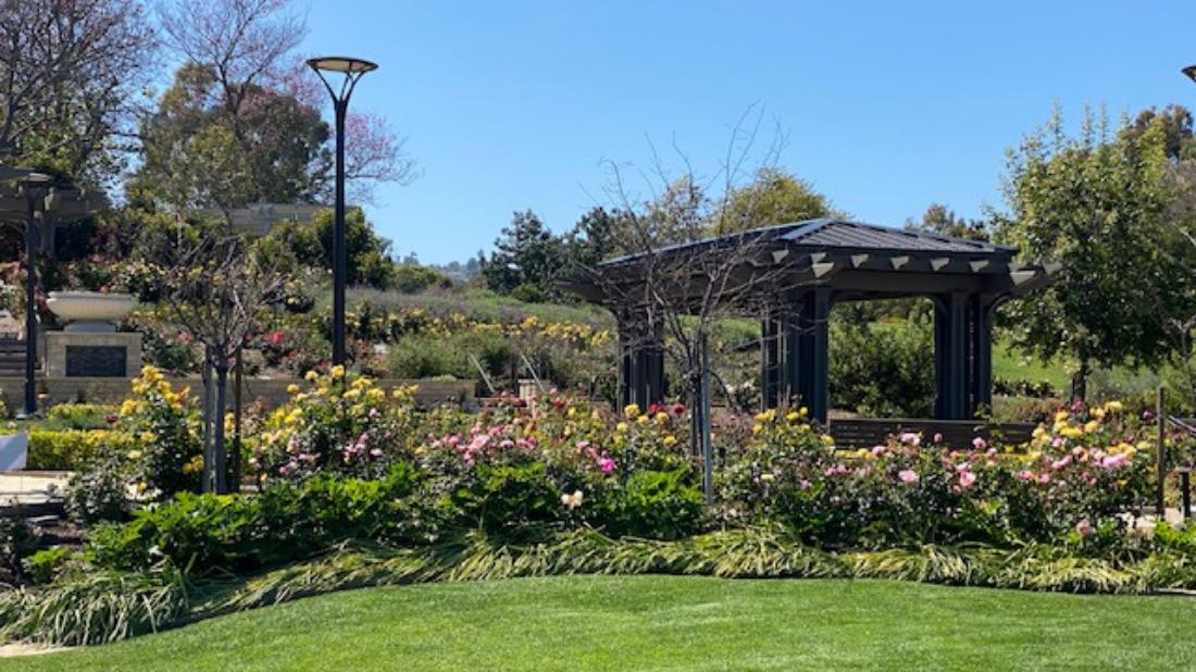 Weekly Garden Highlight Roses South Coast Botanic Garden Foundation