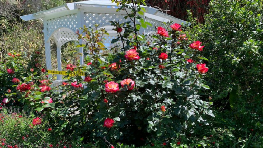 Roses in the Lower Meadow
