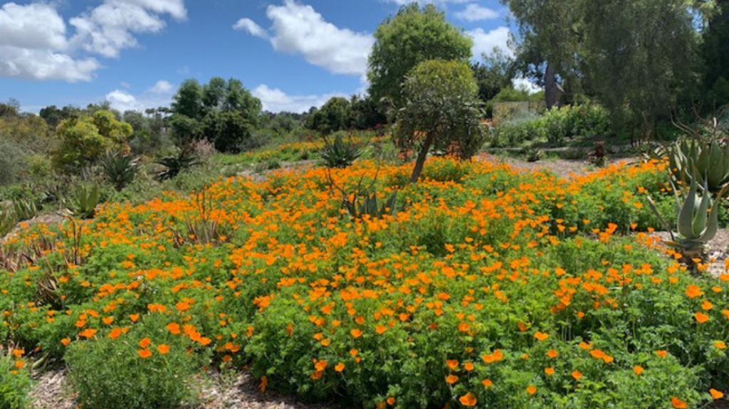 River of California poppy