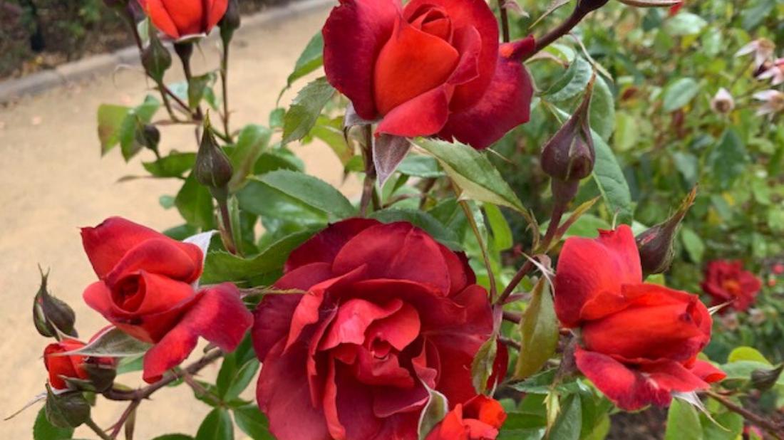 Hot Coco Rose