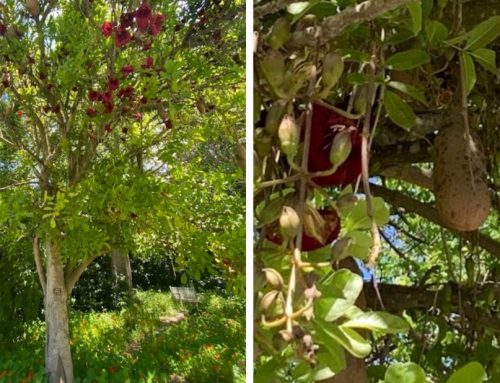 Weekly Garden Highlight: Sausage Tree (Kigelia africana)