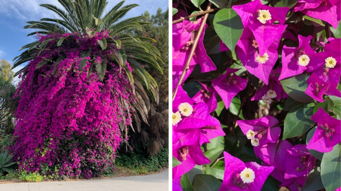 Palm tree with bougainvillea