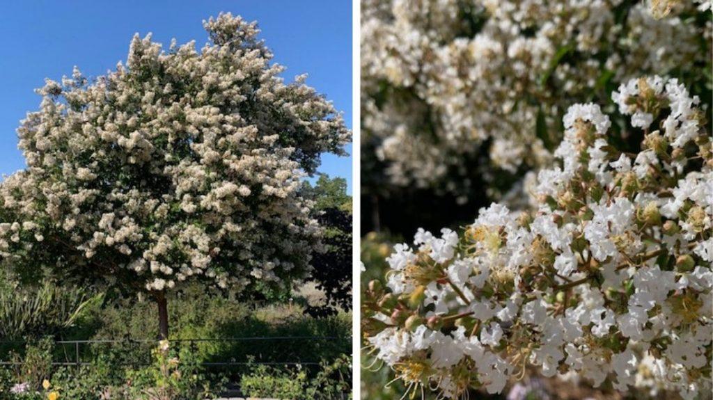White crepe myrtles in the Rose Garden