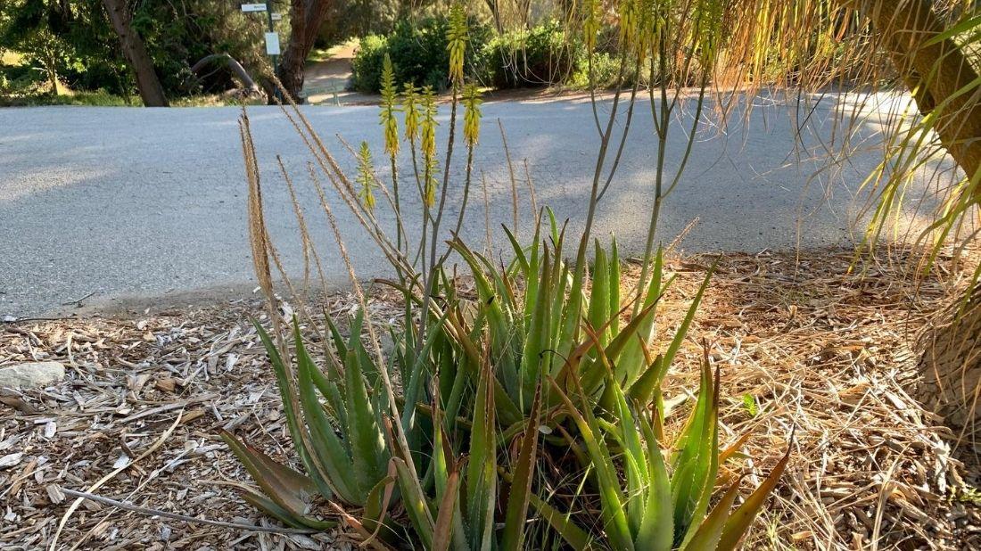 Medicinal Aloe