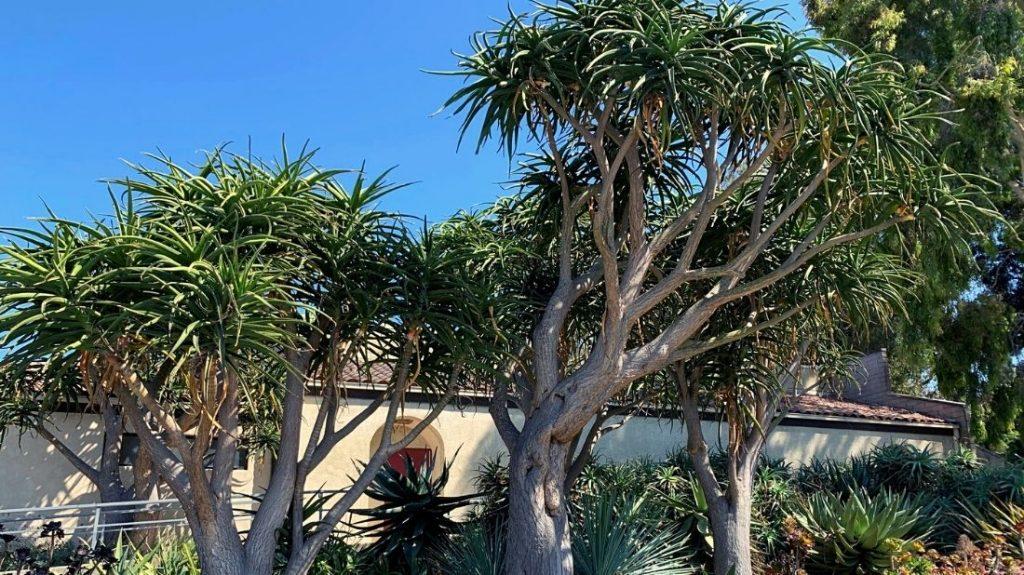 Tree Aloe (branching)