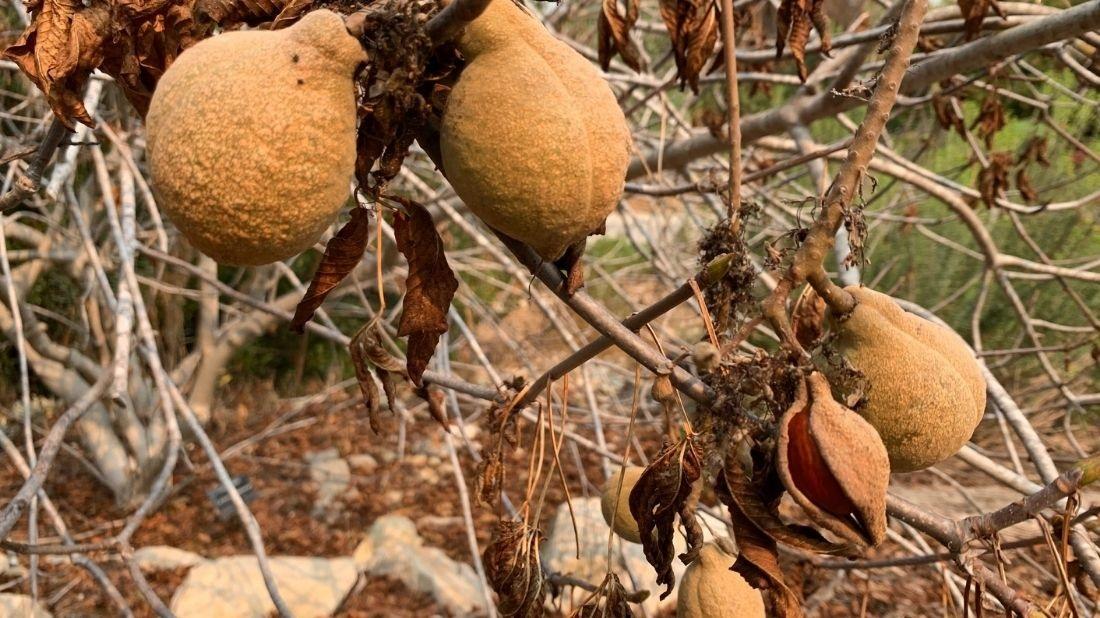 California buckeye nuts