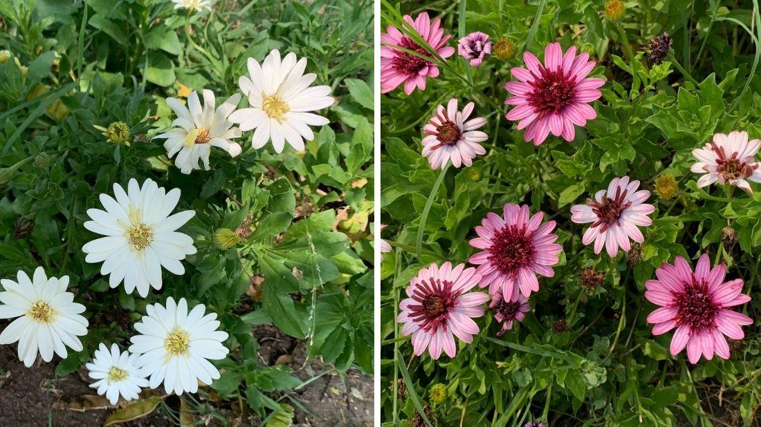 Hybrid African daisies