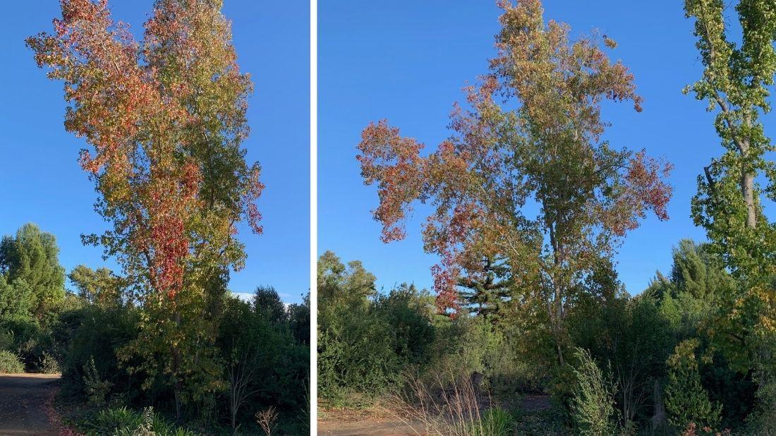 American sweet gum trees