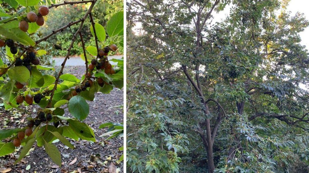 Date plum tree