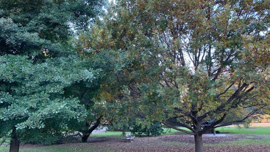 Pin oak & Burr oak
