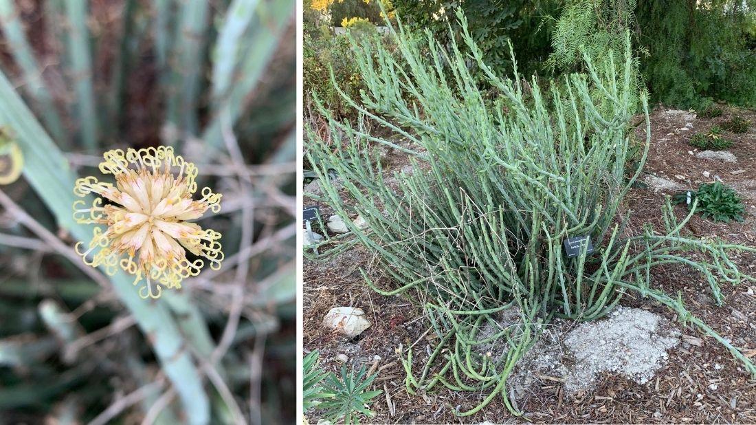 Swizzle Sticks plant